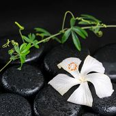 stock photo of tendril  - beautiful spa concept of blooming delicate white hibiscus green twig with tendril passionflower with drops on zen basalt stones closeup - JPG