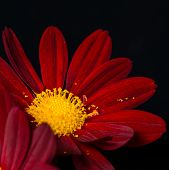 Closeup Composition Of Red Velvet Chrysanthemum Flowers On Black Background, Macro