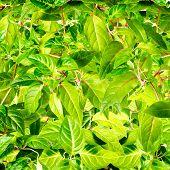 Fresh Green Background Of Foliage Fuchsia, Closeup