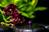 Spa Concept Of Dark Cherry Flower Orchid Phalaenopsis And Lilac Bead On Zen Basalt Stones With Drops