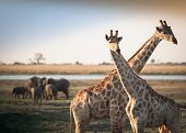 picture of elephant ear  - crossed giraffes with elephants in background in African savannah - JPG
