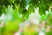 green grape leaves covering