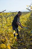 Cutting Back Grape Vines