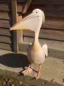 Pink pelican near a house