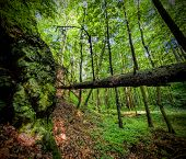 Primeval forest in Southern Poland