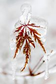 Tree leaf covered in ice and icicles during winter