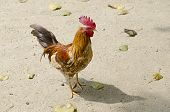 Colorful rooster standing on sand