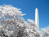 Washington Cherry Blossoms In Front Of  Washington Monument 2010