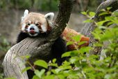 image of panda  - Red panda  - JPG