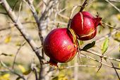Two pomegranate on the tree