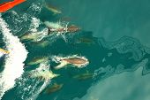 flock of dolphins traveling with ships