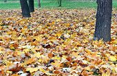 Withered Leaves A