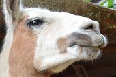 foto of lamas  - detail of curious lama head living in capture in czech republic - JPG