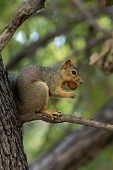 stock photo of pecan tree  - brown squirrel in tree eating a pecan