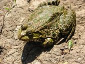The Brown Toad Sits Ashore