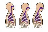 Human Breathing Diagram In Vector