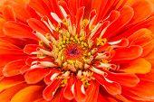 Close up of a vibrant orange zinnia in the summer garden.