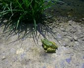 green frog in green grass