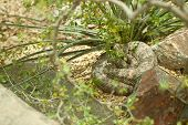 image of western diamondback rattlesnake  - Western Diamondback Rattlesnake Resting in the Warm Sun - JPG