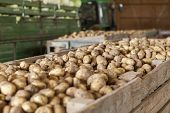 pic of root-crops  - Freshly harvested potatoes and standing in a barn on a farm in a trailer and wooden bins waiting to go to market for sale - JPG