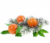 Christmas fir twig with orange tangerine fruits isolated on a white background