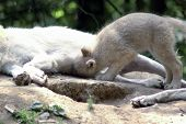 Polar  Wolf  (canis Lupus Tundrorum)