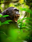 Chimpanzee screaming in the African Rain forest. Wild animal and endangered species in need of nature conservation. Great ape portrait. Chimp in natural wilderness