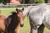 foto of stud  - Horse mare and foal colt on stud farm field - JPG