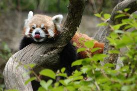 stock photo of panda  - Red panda  - JPG