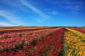 pic of buttercup  - Flowers planted with broad bands of different colors - JPG