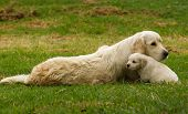 picture of golden retriever puppy  - A golden retriever mother with her young puppy in a yard .