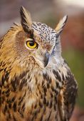 stock photo of owl eyes  - Owl with yellow eyes and warm background in Spain - JPG