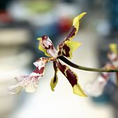 foto of yellow orchid  - Blooming yellow and brown Orchid zigopetalum closeup - JPG