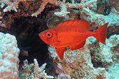 Crescent-tail Bigeye fish