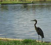 Great Blue Heron Standing Proud