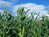 stock photo of corn stalk  - green corn field on sunny blue sky - JPG