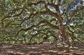 antigo live oak tree na carolina do Sul, imagem hdr