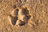 Paso de un perro grande en la arena de la playa.