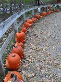 Pumpkins In A Row
