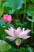 Blooming Lotus Flowers