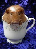 foto of tea party  - baby guinea pig in a teacup - JPG