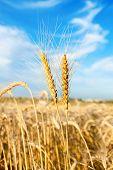 dos espigas de trigo sobre todo