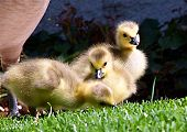 Canadian Geese Chicks
