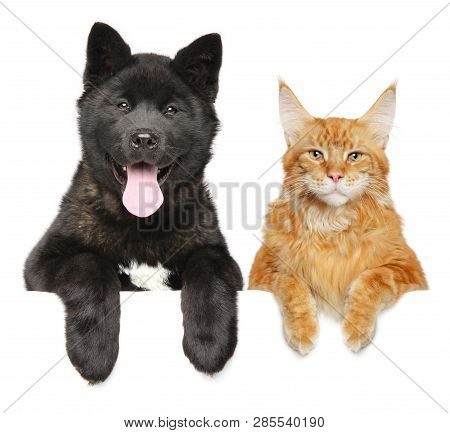 poster of Cat And Dog Together Above Banner, Isolated On White Background. American Akita Puppy And Maine Coon