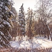 High Green Spruces In The Winter Park Covered With Fresh White Snow. Spruce Park In Winter. Fir Park poster