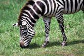 Hungry Zebra