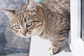 Tabby Male Cat Climbs Out The Window. Cat Wants To Jump Out The Window. Cats Portrait poster