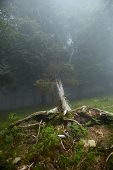 Fallen Tree Trunk With Roots In The Foggy Forest. Flora Of The Pyrenees. La Rhune Mountain poster