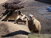 Domestic Sheep In A Sunny Day. Domestic Animal poster