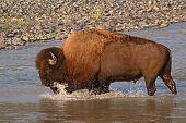 Toro de bisonte salpicaduras en Río